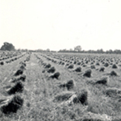 Bill Richardson's Farming in 1942 article - harvest sheaves.
