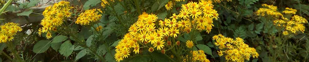 Ragwort in flower. Ragwort is a weed and a menace which poisons mammals and needs controlling.