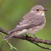 The spotted flycatcher – have you seen any in Hatley?