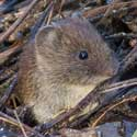 Bank vole – part of the natural scene around Hatley St George and St Denis' church in East Hatley. Photo by John O'Sullivan.