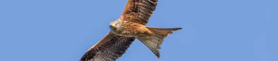 Red kite – part of the natural scene around Hatley St George and St Denis' church in East Hatley. Photo by John O'Sullivan.