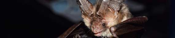Brown long-eared (plecotus auritus) bat – photo / Rachel Bates.