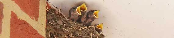 In August 2021, a swallow nested in Hatley Village Hall's spacious porch – this is one of five photographs of the four baby birds and a parent feeding it. Photo – Peter Mann.